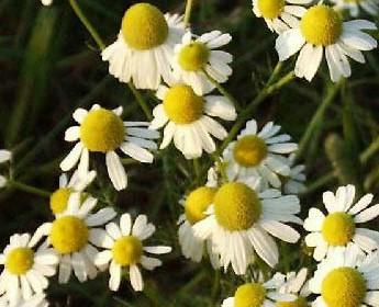 Kamilleblomst er veldkjent for sine velgjørende egenskaper både på innsiden og utsiden.. men lukter ganske sterkt når den blomstrer ;)