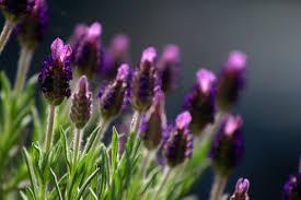 Lavendel er både vakker og velduftene, fungerer fint til tørket og fersk i oljer og slikt.